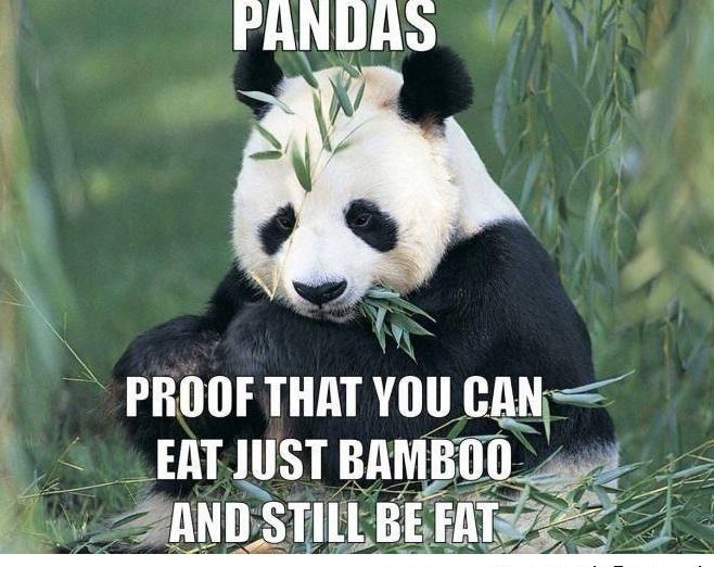 pandas; proof that you can eat just bamboo and still be fat